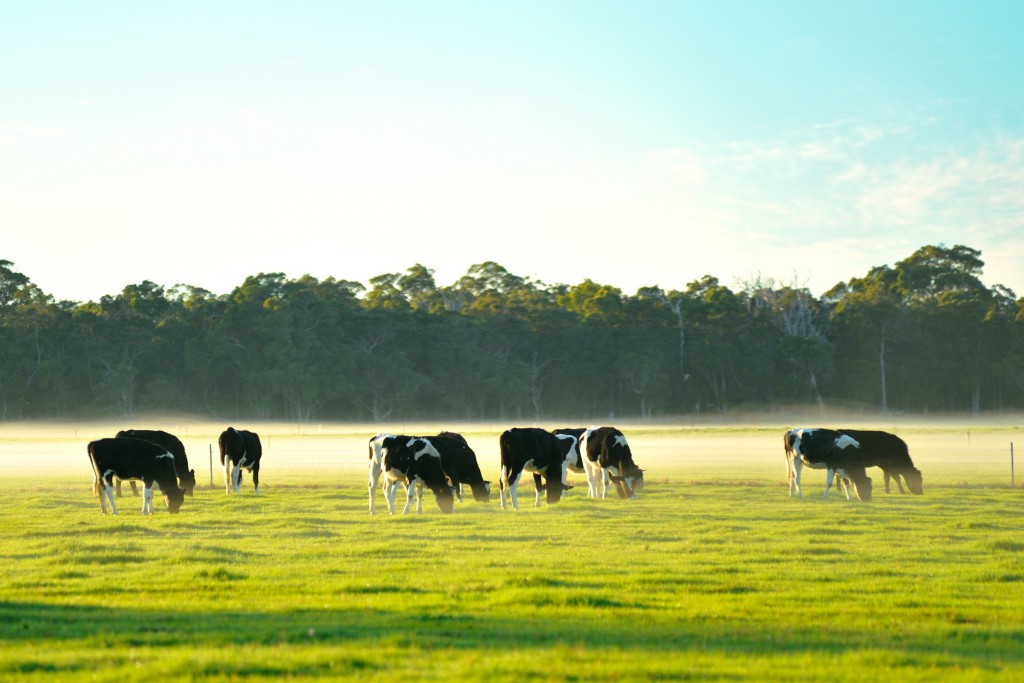 cows on the field